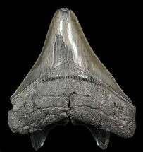 "Serrated, 3.86"" Fossil Megalodon Tooth - South Carolina For Sale, #51083"
