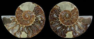 Cleoniceras cleon - Fossils For Sale - #51741