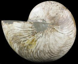 "Huge, 7.6"" Polished Nautilus Fossil - Madagascar For Sale, #51854"