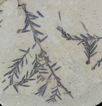 Metasequoia (Dawn Redwood) - Fossils For Sale - #52173
