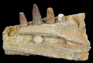 "4.4"" Spinosaurus Jaw Section - Four Composite Teeth For Sale, #50630"