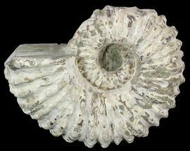 "4.5"" Bumpy Douvilleiceras Ammonite - Madagascar For Sale, #53321"