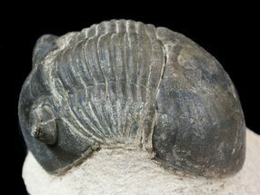 "Bargan, 1.7"" Paralejurus Trilobite Fossil - Foum Zguid, Morocco For Sale, #53534"