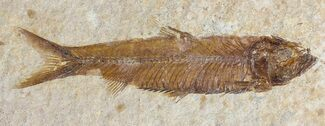 Knightia eocaena - Fossils For Sale - #53886