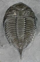 Dalmanites limulurus - Fossils For Sale - #54393