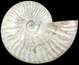 "4.8"" Silver Iridescent Ammonite - Madagascar For Sale, #54878"