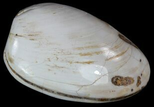 "2.6"" Wide Polished Fossil Clam - Jurassic For Sale, #55238"