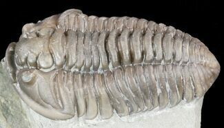 "Nice, 1.25"" Flexicalymene Trilobite - Ohio For Sale, #55400"