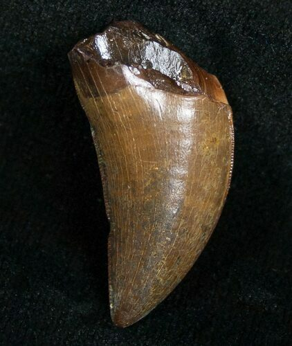 "Quality 1.24"" Nanotyrannus Tooth - South Dakota"