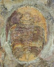 "1"" Colorful, Ordovician Euloma Trilobite - Zagora, Morocco For Sale, #55148"