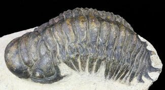 Crotalocephalina gibbus  - Fossils For Sale - #55995