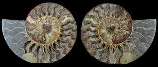 Cleoniceras - Fossils For Sale - #56160
