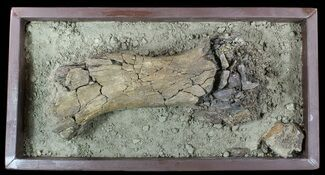 "Buy 16.4"" Hadrosaur Tibia (Duck-Billed Dinosaur) - Mounted As Found - #56365"