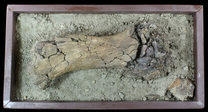 "16.4"" Hadrosaur Tibia (Duck-Billed Dinosaur) - Mounted As Found"