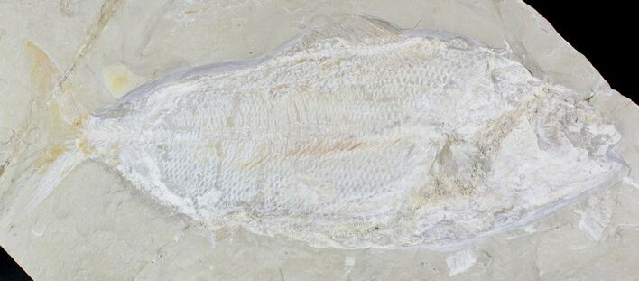 "13"" Rare Fossil Fish (Hakelia) From Lebanon - Cyber Monday Deal!"