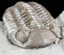 "Buy 1.4"" Long Eldredgeops Trilobite - Paulding, Ohio - #55456"