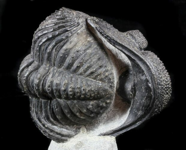"Enrolled, 5"" Drotops Trilobite On Pedestal of Limestone"
