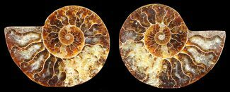 "2.9"" Polished Ammonite Pair - Agatized For Sale, #56306"