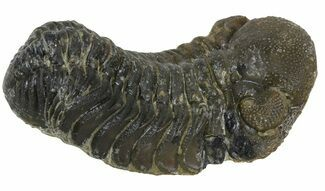 "Buy 2.3"" Austerops Trilobite Fossil - Rock Removed - #55858"