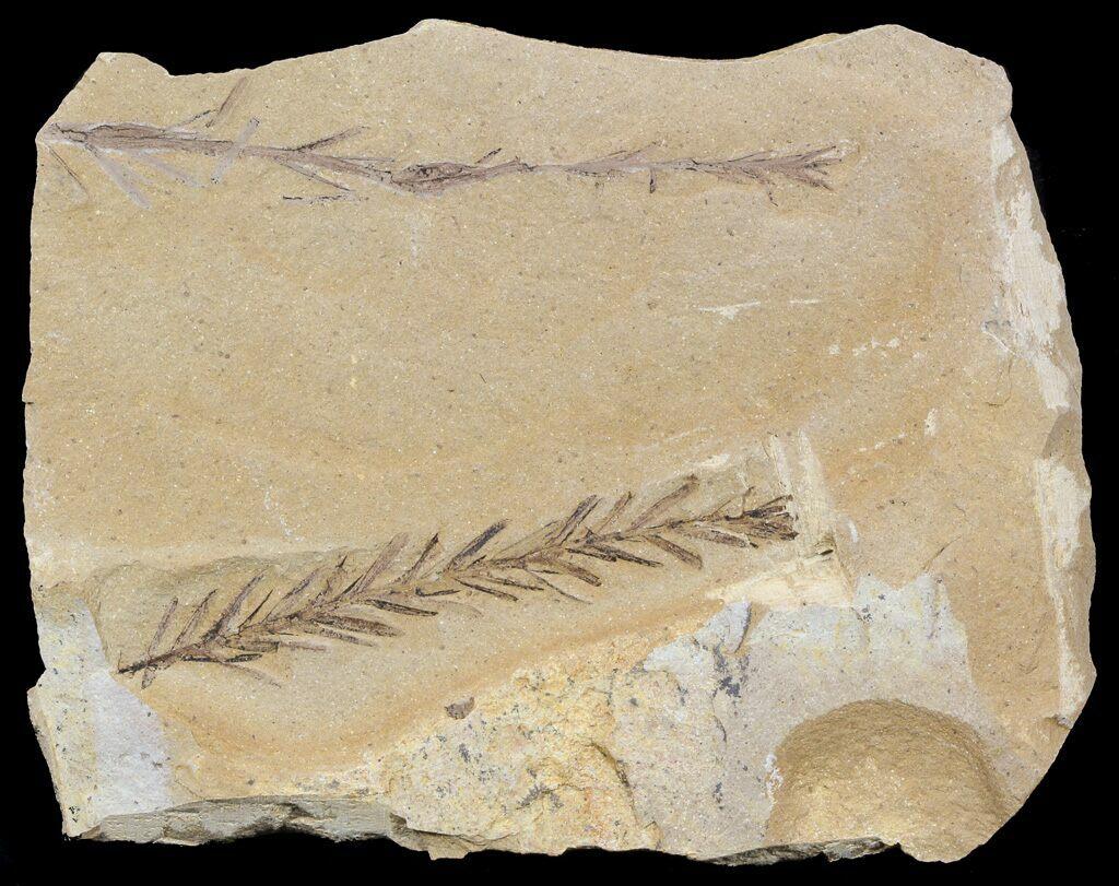 2 2 U0026quot  Metasequoia  Dawn Redwood  Fossil