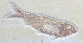 "Detailed, 3.9"" Knightia Fossil Fish - Wyoming For Sale, #57155"