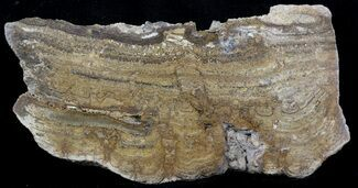 "4.7"" Polished, Miocene Stromatolite (Chlorellopsis) - Crimea For Sale, #57569"