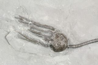 "Buy 5"" Silurian Cystoid (Caryocrinites) - New York  - #57688"