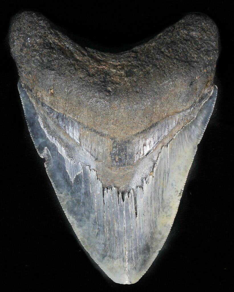 """Serrated, 4.17"""" Fossil Megalodon Tooth For Sale (#57473"""