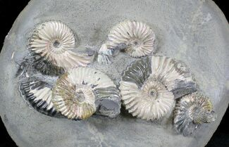 Deshayesites sp. & Aconeceras sp. - Fossils For Sale - #28347