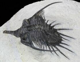 "2.2"" Spiny Psychopyge Trilobite - Short Snout Species For Sale, #58037"