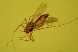 Buy Detailed Fossil Fly (Chironomidae) In Baltic Amber - #58048