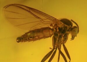 Buy Detailed Fossil Fly (Diptera) In Baltic Amber - #58066