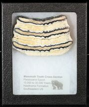 "3"" Mammoth Molar Slice With Case - South Carolina For Sale, #58310"