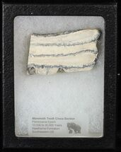 Mammuthus columbi - Fossils For Sale - #58320