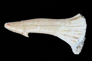 "Buy 2.1"" Cretaceous Giant Sawfish (Onchopristis) Rostral Barb  - #58327"