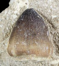 Buy Igdamanosaurus (Globidens) Mosasaur Tooth In Rock - #51922