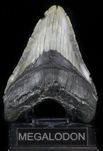 "Huge, 5.56"" Megalodon Tooth - North Carolina For Sale, #59018"