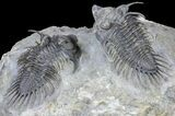 Pair of Spiny Comura Trilobites - Top Quality Preparation - #60014-2