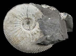 "Buy 1.7"" Wide Kosmoceras Ammonite in Matrix - England - #60298"