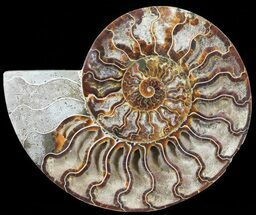 Cleoniceras - Fossils For Sale - #60291