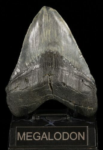 "Large, 5.07"" Fossil Megalodon Tooth - Feeding Damaged Tip"