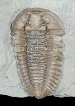"Prone, 1.25"" Flexicalymene Trilobite - Ohio For Sale, #61004"