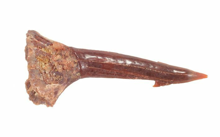 "1.02"" Cretaceous Giant Sawfish (Onchopristis) Rostral Barb"