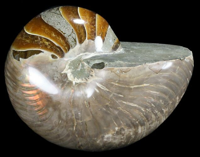 "6.3"" Large, Polished Nautilus Fossil - Madagascar"