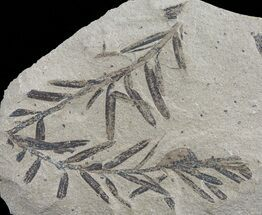 Metasequoia (Dawn Redwood) - Fossils For Sale - #62283