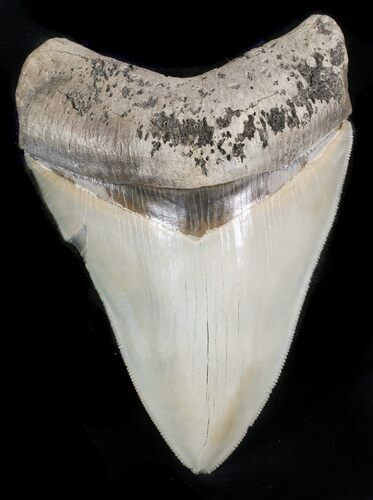 "Serrated, 4.86"" Megalodon Tooth - Glossy Enamel"