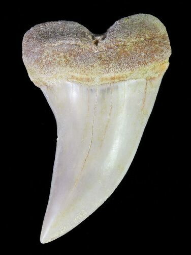 "1.37"" Mako Shark Tooth Fossil - Sharktooth Hill, CA"