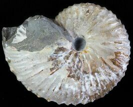 "Buy 1.8"" Hoploscaphites Ammonite - South Dakota - #62605"