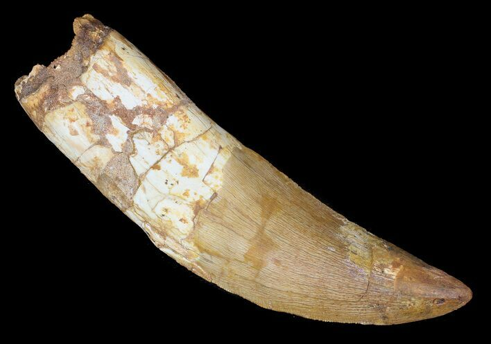 "5.12"" Carcharodontosaurus Tooth - Partially Rooted"