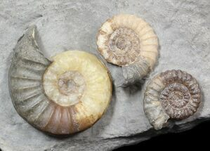 Beautiful Ammonite Cluster (Asteroceras & Promicroceras) - England For Sale, #62903